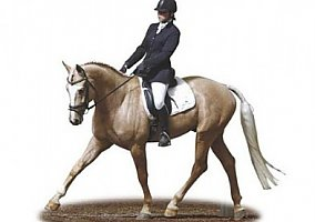 Warmblood Stallion
