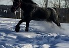 Percheron Stallion for Sale in Stanstead, Quebec