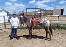 Pony of the Americas Mare for Sale in Casper, Wyoming