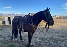 Browning - Gelding in Spring creek, NV