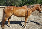 RIVER - Gelding in Inverness, FL