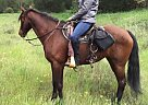 Missouri Fox Trotter Mare