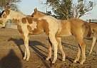 Poco Bueno, cowbred - Stallion in Hope, NM