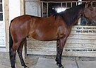 Quarter Horse Gelding for Sale in Jacksonville, Florida