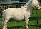 Miniature Stallion for Sale in Kassel, Germany