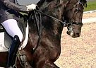Friesian Gelding for Sale in sausalito, California
