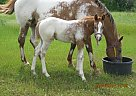 Appaloosa Stallion for Sale in Church Point, Louisiana