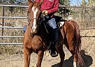 KSE Shaatir - Gelding in Colorado Springs, CO