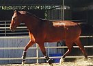 Thoroughbred Gelding for Sale in Redondo Beach, California