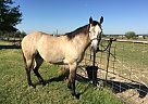 Other Gelding for Sale in Ponder, Texas