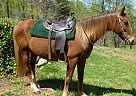 Tennessee Walking Gelding for Sale in Amherst, Virginia
