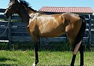 Thoroughbred  for Sale in Reddick, Florida