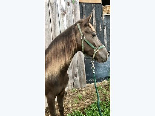 Flashy Chocolate Kentucky Mountain 4yr old Mare With Flaxen Mane and Tail