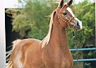 Arabian Mare for Sale in Waco, Texas