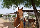 SS MAGNUMS ECHO - Gelding in waddell, AZ