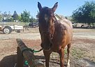 Quarter Horse Mare for Sale in Exeter, California