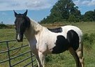 Tennessee Walking Stallion for Sale in Ocoee, Tennessee