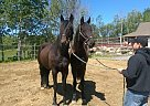 Friesian Gelding for Sale in Quebec, Quebec
