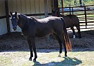 Diamond - Gelding in Williamston, SC