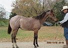 Dandy Drifter - Gelding in Milnor, ND