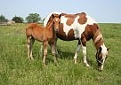 Paint Mare for Sale in Green City, Missouri