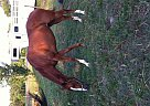 Thoroughbred Mare for Sale in Laurens, South Carolina
