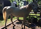 Arabian Mare for Sale in Fontana, Kansas