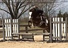 - Gelding in Lake Saint Louis, MO