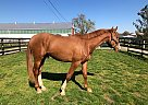 Triumphant - Gelding in Bellbrook, OH