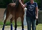 Tennessee Walking Mare for Sale in Nashville, Tennessee