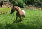 - Gelding in Fort Montgomery, NY