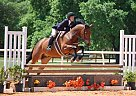 Warmblood Gelding for Sale in Orlando, Florida