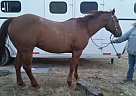 - Gelding in Lovell, WY