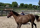 Spiro - Gelding in Bellbrook, OH