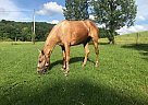 Goldie Locks - Mare in Manchester , KY