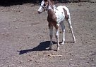 Paint Stallion for Sale in Oswego, New York