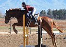 Thoroughbred Gelding for Sale in Bosque Farms, New Mexico