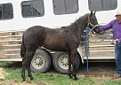 Whiskey - Stallion in Milnor, ND