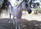 Arabian Mare for Sale in Bastrop, Texas