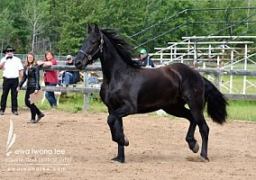 Friesian Horses for Sale - Free Ads - HorseWeb