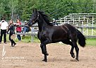 Brave Heart - Gelding in Red Deer, AB