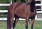 Welsh Cob Mare for Sale in Pocatello, Idaho