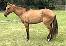 Quarter Horse Mare for Sale in Hudson, Florida