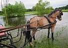 Welsh Pony Gelding for Sale in Levelland, Texas