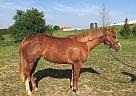 American Cream Mare for Sale in Kansas City, Kansas
