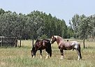 - Stallion in Hungary,