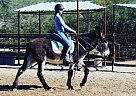 Hamish - Gelding in Cave Creek, AZ