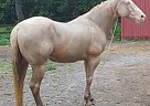 Paint Gelding for Sale in Deland, Florida