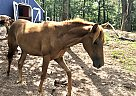 Scarlett - Mare in Anniston, AL