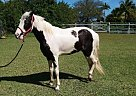 Tennessee Walking Mare for Sale in Homestead, Florida